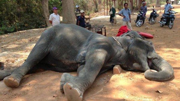 elefante muerta en Siem Reap